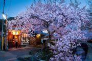 神无月樱花祭福利盛典 送万元基金赴日赏樱[多图]